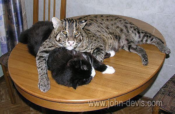 Камышовый кот домашних условиях